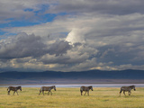 Tanzania, Arusha Region, Ngorongoro Conservation Area, Zebra (Equus Burchellii) Photographic Print by Eric Lafforgue