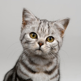 Young Silver Tabby Cat Photographic Print by Chris Vun