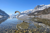 Mute Swan (Cygnus Olor), at Lake Grundel in Winter, Austria, Styria Photographic Print by Blickwinkel/Dum Sheldon