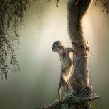 Baby Chacma Baboon Playing in a Tree with Sun-Rays from the Back Photographic Print by Johan Swanepoel