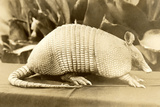 Armadillo Resting on a Table Photographic Print by Brian Smolens