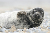 Grey Seal (Halichoerus Grypus), Pup, Heligoland Düne, Schleswig-Holstein, Germany Photographic Print by Klaus-Peter Wolf
