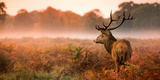 Red Deer Stag in the Early Morning Mist Photographic Print by Inguna Plume