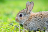 Little Rabbit on Green Grass in Summer Day Photographic Print by Liviu Pazargic