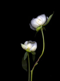 White Peonies Isolated on Black Background Photographic Print by Christian Slanec