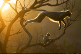 Hanuman Langur Leaping Through the Treetops Bandhavgarh India Papier Photo par Steve Bloom