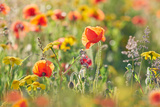 A Close in View of Poppies and Corn Marigolds Photographic Print by Helen Dixon