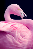 Chilean Flamingo Portrait Photographic Print by Jeff McGraw