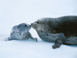 Harbor Seal and Pup, Alaska, USA Photographic Print by Chris Vun