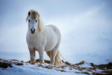 A Horse Nr Helgafell, Snaefellsness Peninsula, Iceland Photographic Print by David Noton