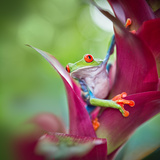 Red Eyed Tree Frog from Tropical Jungle of Costa Rica Photographic Print by Dirk Ercken
