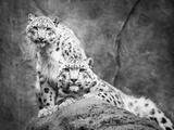 Frontal Portrait of Snow Leopard Pair Photographic Print by Abeselom Zerit