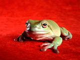 Close Up of Green Frog Against Red Background Photographic Print by Larry Lilac
