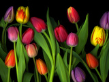 Colorful Tulips Isolated Against a Black Background Photographic Print by Christian Slanec