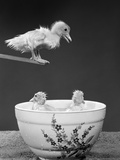 1950S Duckling on Diving Board Looking Down at Two Other Ducklings in Deep Bowl Filled with Water Photographic Print by Bob Roberts