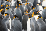 Flock of King Penguins Interacting Photographic Print by Cheryl Schneider