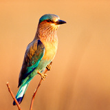 Indian Roller, India Papier Photo par Chris Vun