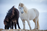 Black and White Horses Nr Helgafell, Iceland Photographic Print by David Noton