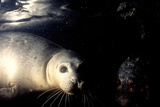 Grey Seals Halichoerus Grypus under Water Photographic Print by Darroch Donald