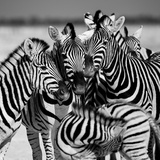 Zebras, Etosha, Namibia Photographic Print by Eric Lafforgue