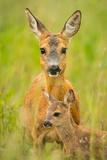 Roe Deer (Capreolus Capreolus), Doe with Fawn, Germany, Brandenburg Photographic Print by  Blickwinkel
