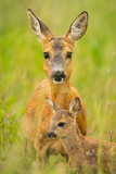 Roe Deer (Capreolus Capreolus), Doe with Fawn, Germany, Brandenburg Photographic Print by Torsten Schroeer