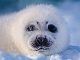 Wild Harp Seal Pup on the Ice the Atlantic Ocean Off the Labrador Coast in Canada Photographic Print by Chris Cheadle