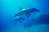 Bottlenose Dolphins, Underwater, Red Sea, Israel Photographic Print by Chris Cheadle