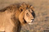 Panthera Leo, Lion, Loewe, Male Stampa fotografica di Burghard Schreyer