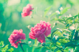 Peony Field in Meadow During Sunrise over Blured Green Backdrop Photographic Print by Oksana Ariskina