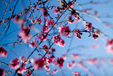 Pink Peach Blossoms on Tree in Spring in Shallow Focus Against Blue Sky Photographic Print by Ann Cutting