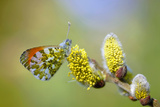 Orange-Tip (Anthocharis Cardamines), Sits on Willow Catkin, Germany Photographic Print by  Blickwinkel