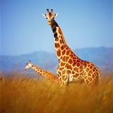 Giraffe Photographic Print by Gleb Ivanov