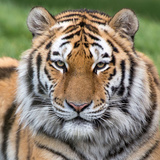 Male Amur Tiger Photographic Print by Christopher Godfrey