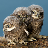 Baby Owls Photographic Print by Chris Vun