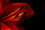 Orange Lily Against Black Background Photographic Print by Jennifer Peabody