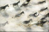 Aerial View of Zebra Herd Running Okavango Delta Botswana Papier Photo par Steve Bloom
