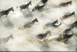 Aerial View of Zebra Herd Running Okavango Delta Botswana Photographic Print by Steve Bloom