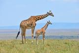 Masai Mara Giraffe Photographic Print by  Jim Varley Photography