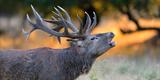 Red Deer (Cervus Elaphus), Portraet of an Imposing Roaring Stag in Morning Light, Denmark Photographic Print by  Blickwinkel/Zoller
