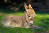 Domestic Donkey (Equus Asinus Asinus), Foal Lays in a Meadow, Germany, North Rhine-Westphalia Stampa fotografica di  Blickwinkel/Wilken