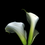 Two Calla Lilies Against a Dramatic Square Black Background Photographic Print by Christian Slanec