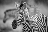 A Herd of Zebra Grazing in the Early Morning in Etosha, Namibia Photographic Print by Udo Kieslich