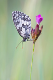 Marbled White Butterfly on Flower, Danube-Auen National Park, Lower Austria, Austria Photographic Print by Sonja Jordan