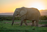 Elephant Travels in Sunset, South Africa, Addo Elephant Park Photographic Print by Stefan Oberhauser