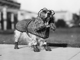1930S Cocker Spaniel Wearing Glasses Checkered Cape and Leather Shoes Photographic Print by Bob Roberts