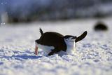 Bearded Penguin, Pygoscelis Antarcticus), Chinstrap Penguin Tobogganing, Zavodovski Island Photographic Print by Torsten Schroeer