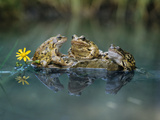 Three Frogs Sitting on Rock Photographic Print by  moodboard