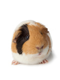 Cute Guinea Pig on White Background Photographic Print by Frans Rombout