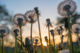 Low Angle View of Dandelion Growing on Field During Sunset Photographic Print by Adam Kuylenstierna